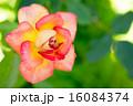 バラ(かがりび) 16084374