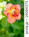 バラ(かがりび) 16084375