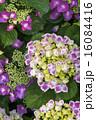 アジサイの花 カラフル 縦  16084416