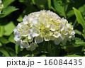 白色のアジサイ 16084435