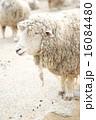 六甲山牧場 六甲山 羊の写真 16084480