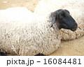 六甲山牧場 六甲山 羊の写真 16084481