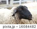 六甲山牧場 六甲山 羊の写真 16084482