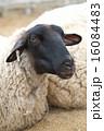 六甲山牧場 六甲山 羊の写真 16084483