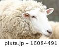 六甲山牧場 六甲山 羊の写真 16084491