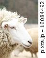 六甲山牧場 六甲山 羊の写真 16084492