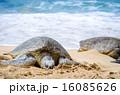 甲羅干しするアオウミガメと白い波 16085626