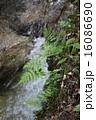 滝そばの斜面のシダ植物 16086690
