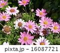 ピンクマーガレット 16087721
