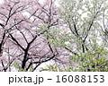 樹木 花 桜の写真 16088153