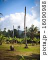 ヤシ 疑問 生態の写真 16090988