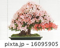 盆栽 皐月 如峰山の写真 16095905