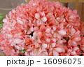 盆栽 皐月 八咫鏡の写真 16096075