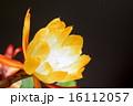 多肉植物 サボテン 孔雀サボテンの写真 16112057