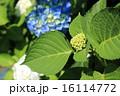 アジサイ テントウムシ 咲き始めの写真 16114772