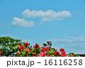 陽ざしをうける赤いバラ 16116258