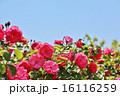 陽ざしをうける赤いバラ 16116259