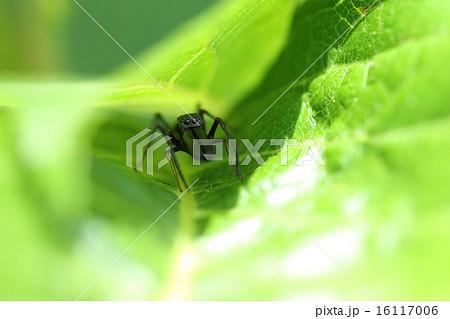 生き物 クモ アリグモ、メスはアリそっくりですがオスは大きな顎が目立ちすぎてアリには見えませんネ 16117006