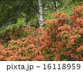 レンゲツツジ ツツジ 花の写真 16118959
