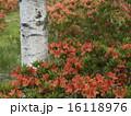 レンゲツツジ ツツジ 花の写真 16118976