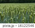 岩手県の小麦畑 16122546