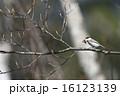 くわえる 巣材 コガラの写真 16123139