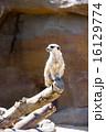 よこはま動物園ズーラシア|ミーアキャット 16129774