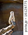 よこはま動物園ズーラシア|ミーアキャット 16129775
