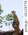 よこはま動物園ズーラシア|ミーアキャット 16129776
