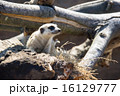 よこはま動物園ズーラシア|ミーアキャット 16129777