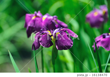 花菖蒲(はなしょうぶ)赤紫 16138470