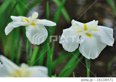 花菖蒲(はなしょうぶ)淡いクリーム色 16138471
