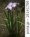 菖蒲の花 16141766