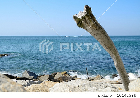 伊良湖岬の流木 16142539
