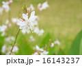 ハクチョウソウ ガウラ 植物の写真 16143237