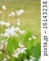 ガウラ ハクチョウソウ 植物の写真 16143238