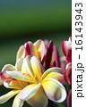 プルメリア 花 アップの写真 16143943