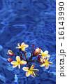 水に浮かぶ赤いプルメリア-1 16143990