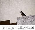 鳥類 燕 生物の写真 16144110