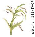鳩麦 穀物 実のイラスト 16145007