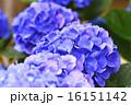 花 アップ あじさいの写真 16151142