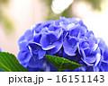 花 アップ あじさいの写真 16151143