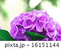 花 アップ あじさいの写真 16151144