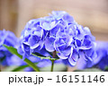 花 アップ あじさいの写真 16151146