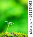 新芽 発芽 芽生えの写真 16155463