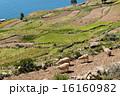 タキーレ島 ペルー 羊の写真 16160982