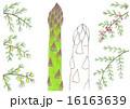 アスパラガス 春野菜 グリーンアスパラガスのイラスト 16163639