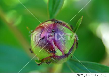 芍薬の蕾に付くアリとアブラムシ 16170769