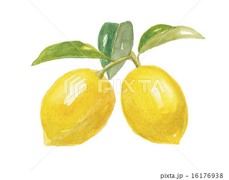 檸檬 レモンのイラスト素材 [161...
