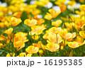カリフォルニアポピー お花畑 16195385